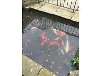 Various fish including two Koi and multiple goldfish
