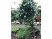 Evergreen tree - free to good home