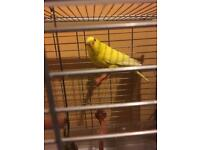Yellow Luntino Budgie For Sale