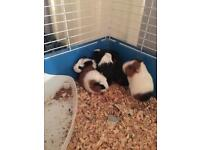 Five baby guinea pigs are girls