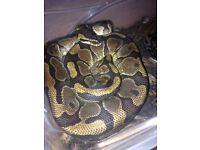 Butter Royal python, yellow belly royal, enchi royal