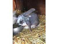Continental x giant lop rabbit forsale