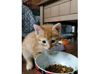 Beautiful ginger male kitten