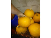 Home Grown Pumpkins - Job Lot of 20min