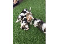 1 left !!! Shitzu puppies