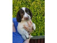 English springer spaniel puppies 3 left 10/16/2017 two dogs and a bitch