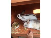 2 female bunnies with double hutch.