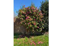 Camillia garden tree