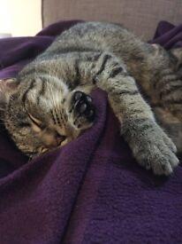 7 month old Tabby Kitten