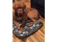 French mastiff boy kc reg 1yr