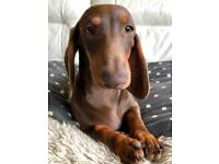 Dachshund | Dogs & Puppies for Sale - Gumtree