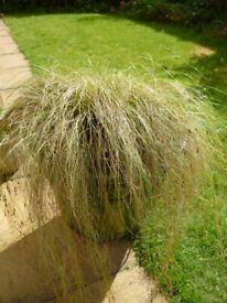 Fantastic Ornamental Grass