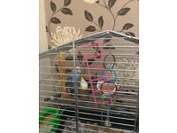 Blue budgie for sale