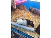 Female pet rat
