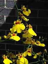 Orchid - Oncidium Dancing Lady Tarneit Wyndham Area Preview