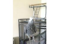Hand tame African grey parrot