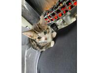 Tabby and calico kittens for sale