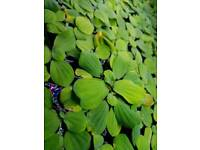 Live Floating Aquarium Plants!