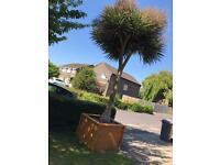 Massive palm tree