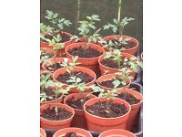 Victoria tomato plants ready for planting into pots or grow bags.