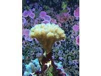 pocillopora damicornis tricolour. Spa lps reef marine corals
