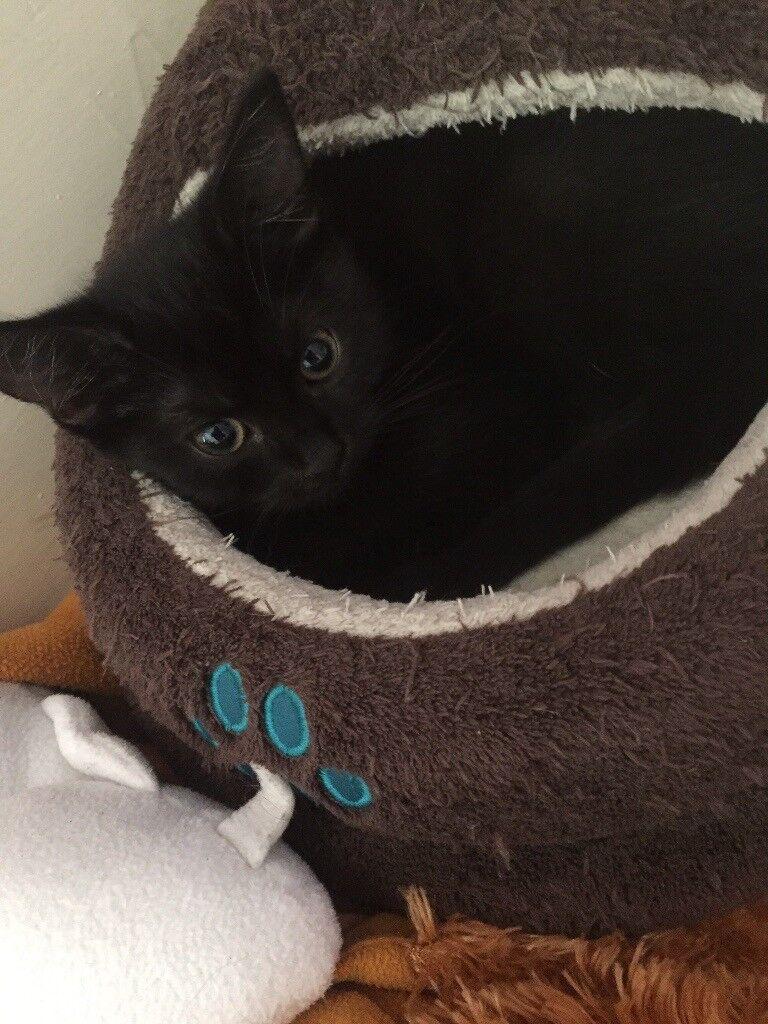 1 female kitten