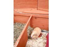 Guinea pigs, hutch & food
