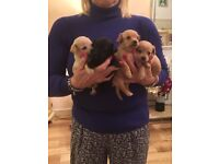 Stunning Poodle/chihuahua puppies boys and girls