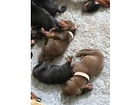 Brown Doberman males ready to leave now