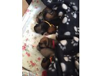 Jug puppies for sale. X4 boys X4 girls