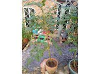 Mature tomato plants