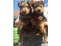 K.C registered Lakeland terrier
