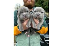 American Bully pups 3 girls