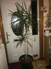 6ft Indoor Dracaena Plant for sale - £20