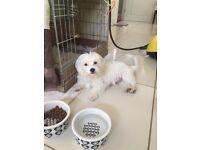 Maltese / malshi puppies