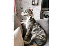 8mth old American bully x lurcher
