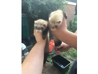 Male and female ferret pair with hutch