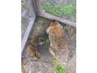 Baby lop bunnies rabbits for sale