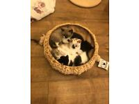Kittens for sale, 11 weeks old males.