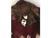 Chocolate Springer Spaniel puppies
