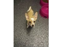 female puppy chi for sale