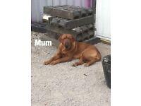 Gorgeous dogue De Bordeaux pups for sale ***
