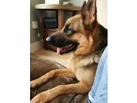 German shepherd male 2yo