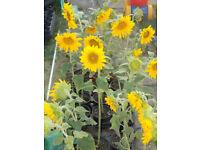 Garden Bedding Plants Dwarf Sunflower