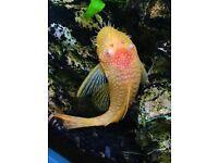 Albino Bristlenose Ancistrus Pleco Tropical Fish