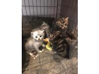 4 beautiful 1/2 bengal 1/2 Persian kittens for sale