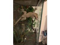 Adult crested gecko