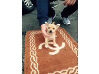 Chihuahua x minature jack Russell puppies for sale