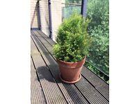 Balcony or garden Plant