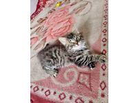 2 adorable fluffy tabby kittens